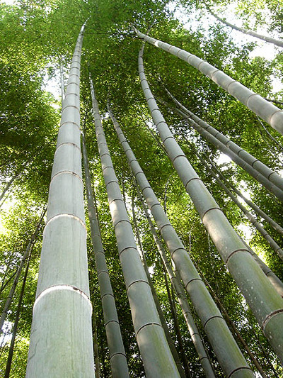 Bamboo_forest_kyoto
