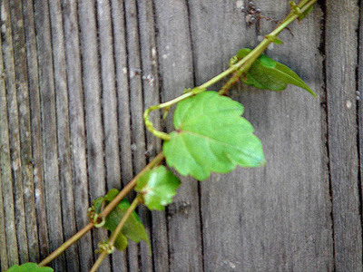 Vine_on_wall